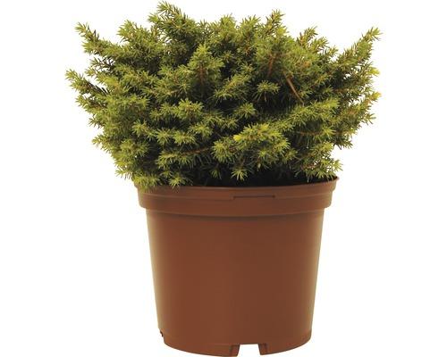 Kissenfichte FloraSelf Picea abies ''Little Gem'' H 15-20 cm Co 2 L