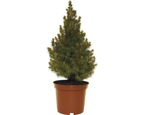 Épinette blanche FloraSelf Picea glauca ''Conica'' H30-40cm pot 3L