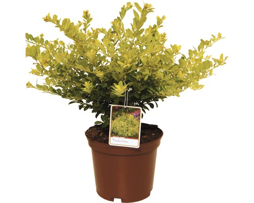 Ilex FloraSelf Ilex crenata ''Golden Gem'' H15-20cm Co 2L