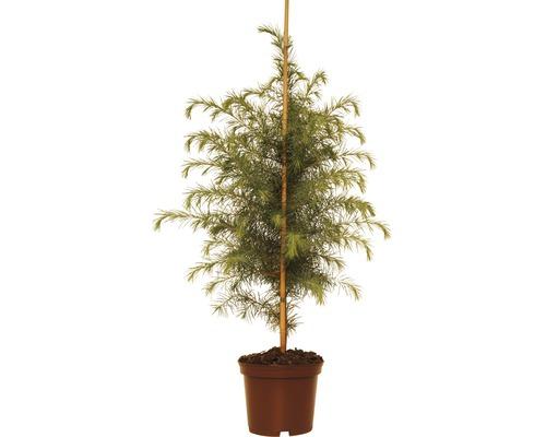 Cèdre deL''Himalaya FloraSelf Cedrus deodara H40-60cm Co 5L