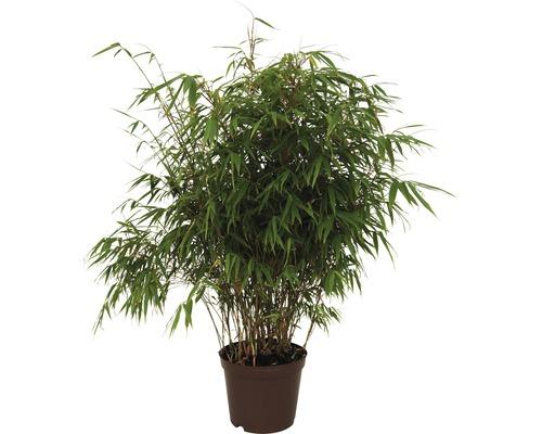 Bambou de jardin résistant au soleil FloraSelf Fargesia rufa H 40-60 cm Co 5 l