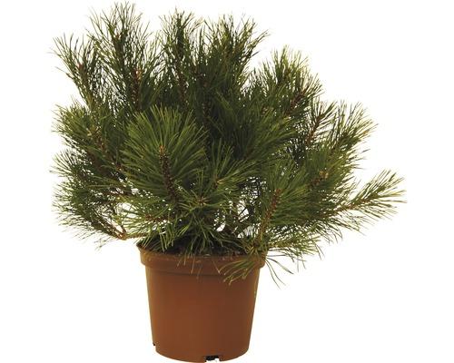 Pin des montagnes FloraSelf Pinus mugo H 15-20 cm 3 L