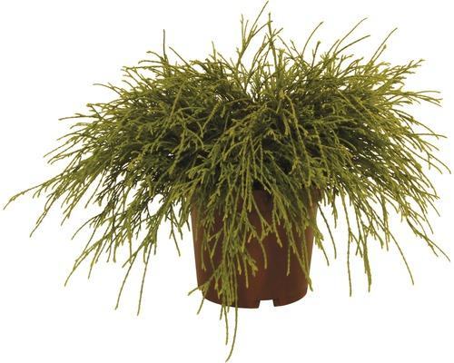 Cyprès de Sawara FloraSelf Chamaecyparis pisifera ''Sungold'' H15-20cm Co 2L