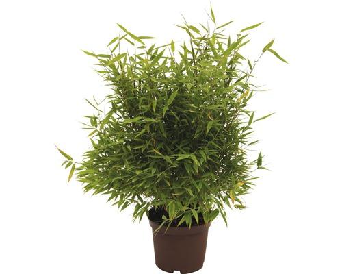 Bambou de jardin Nouvelle génération 40-60 cm