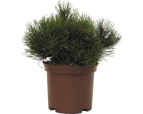Pin de montagne FloraSelf Pinus mugo ''Pumilio'' H15-20cm Co 2L