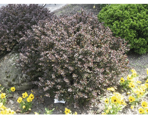 Épine-vinette de Thunberg FloraSelf Berberis thunbergii ''Atropurpurea Nana'' H20-25cm Co 1,5L