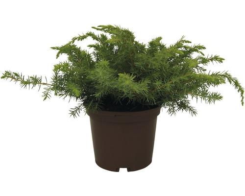 Genévrier des plages FloraSelf Juniperus conferta ''Blue Pacific'' H20-30cm Co 2L