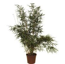 Bambou de jardin Campbell 80-100 cm-thumb-1