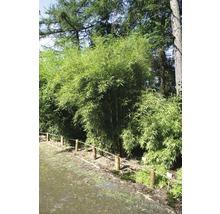 Bambou de jardin Campbell 80-100 cm-thumb-0