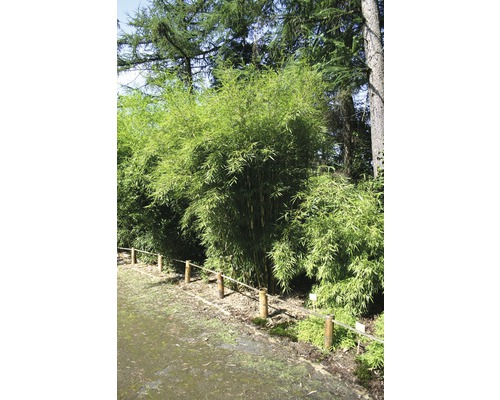 Bambou de jardin Campbell 80-100 cm