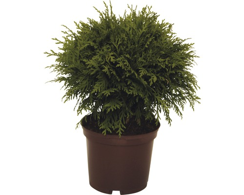 Thuya occidental boule FloraSelf Thuja occidentalis ''Danica'' H15-20cm Co 2L