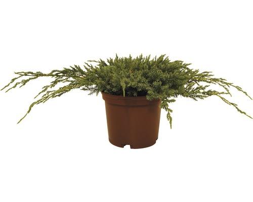 Genévrier écailleux FloraSelf Juniperus squamata ''Blue Carpet'' H20-30cm Co 2L