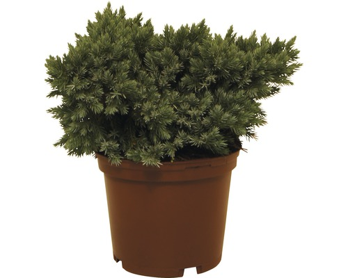 Genévrier rampant FloraSelf Juniperus squamata ''Blue Star'' H20-25cm Co 3L
