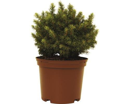 Épinette blanche FloraSelf Picea glauca ''Alberta Globe'' H15-20cm Co 1,5L