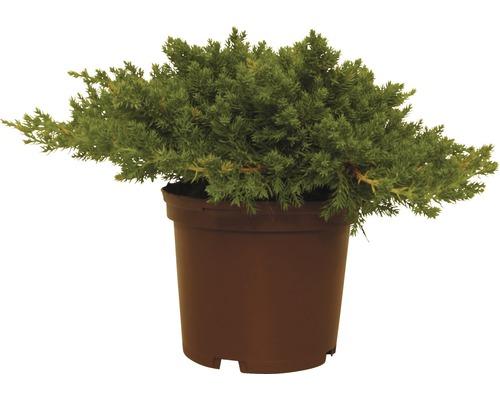 Genévrier rampant FloraSelf Juniperus procumbens ''Nana'' H20-25cm Co 2L