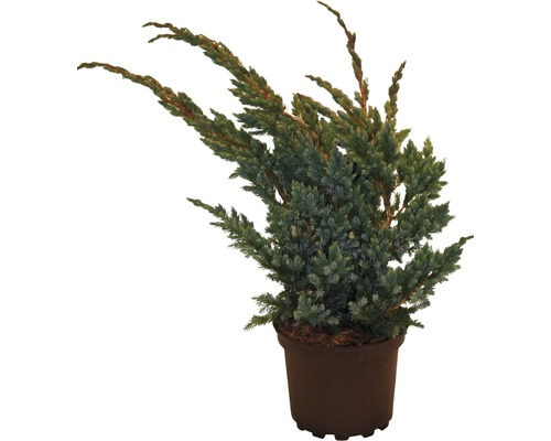 Teppichwacholder FloraSelf Juniperus squamata ''Meyeri'' H 20-30 cm Co 2 L