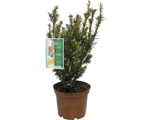 If Taxus baccata ''Westerstede'' H30-40cm Co 3L