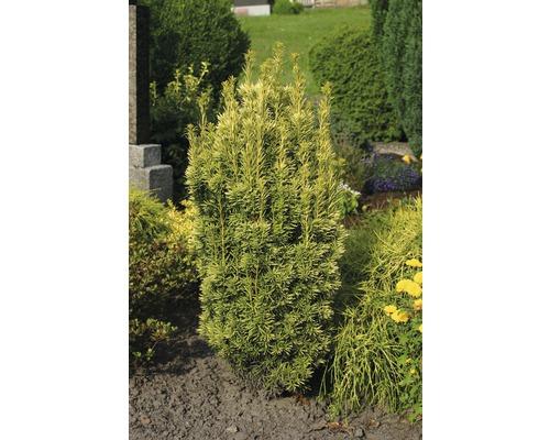 Gelbe Säuleneibe FloraSelf 30-40 cm Co 3 L