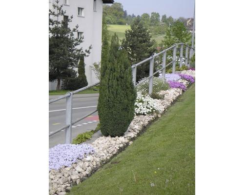 Faux cyprès FloraSelf Chamaecyparis lawsoniana ''Ellwoodii'' H20-30cm Co 2L