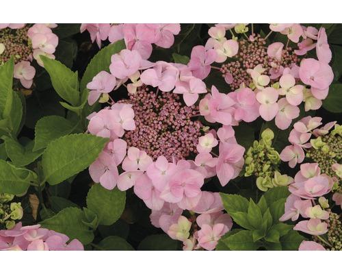 Hortensia à fleurs plates FloraSelf Hydrangea macrophylla H30-40cm Co 5L
