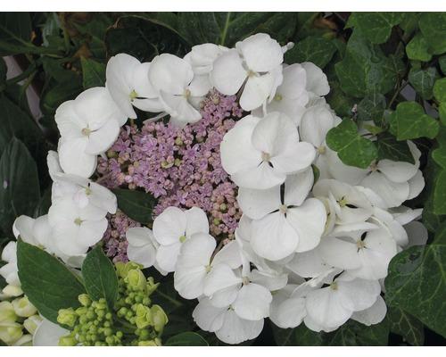 Tellerhortensie weiß FloraSelf Hydrangea macrophylla H 30-40 cm Co 4 L