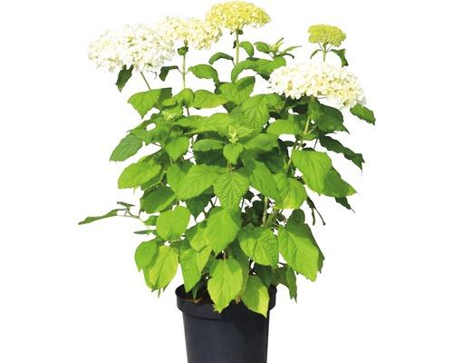 Hortensia de Virginie, hortensia arborescent FloraSelf Hydrangea arborescens ''Annabelle'' H50-60cm Co 5L
