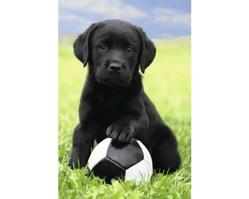 Poster Dog - Labrador Football 61x91,5 cm