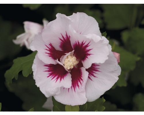 Hibiscus ''Helene'', 40 - 60cm