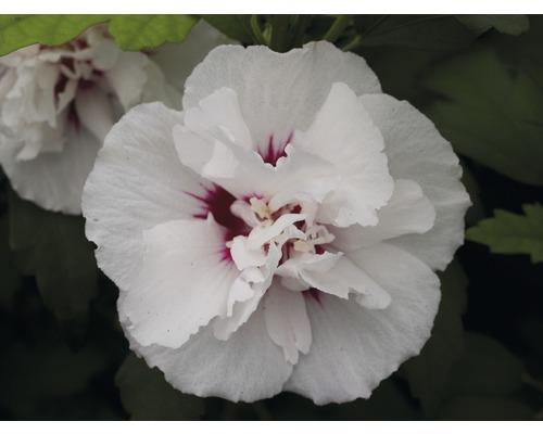 Hibiscus ''Lady Stanley'', 40 - 60cm