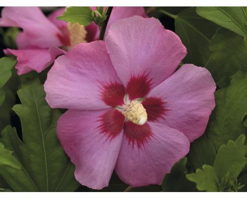 Hibiscus ''Aphrodite'', 40 - 60 cm