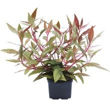 Plantes à tiges Alternanthera reineckii ´Rot´ XXL-thumb-0
