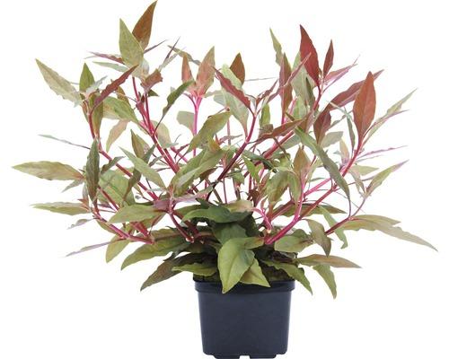 Plantes à tiges Alternanthera reineckii ´Rot´ XXL