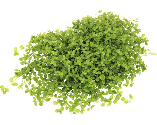 Mildiou Micranthemum