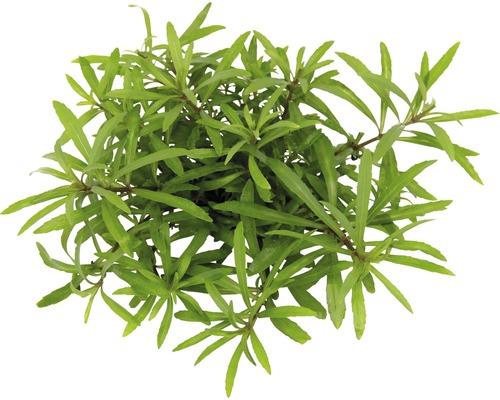 Plantes à tiges Pogostemon quadrifolius