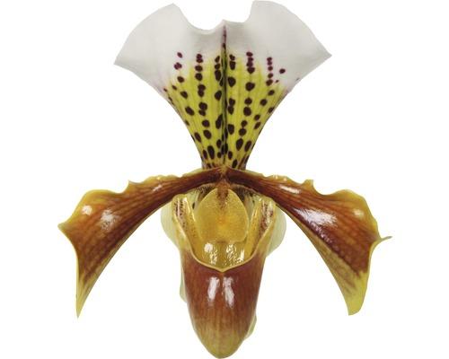 Sabot de Vénus FloraSelf Paphiopedilum Hybride ''USA'' H 35-45 cm pot Ø 12 cm 1 panicule