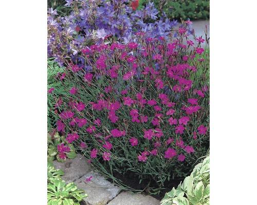 Œillet à delta Dianthus deltoides ''Splendens'' h 5-20 cm Co 0,5 l (6 pièces)