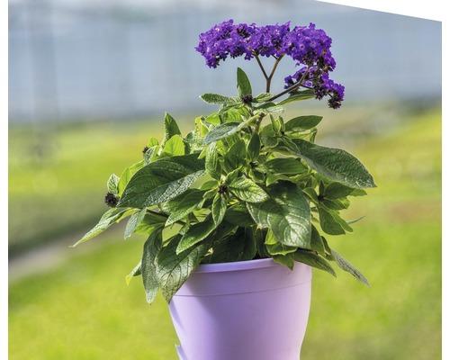Fleur de vanille FloraSelf Heliotropium arboresckens ''Midnight Sky'' pot Ø 15 cm