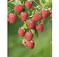Framboisier FloraSelf Rubus idaeus 'Malling Promise' H40-60cm Co 2L