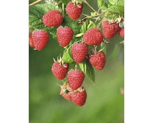 Framboisier FloraSelf Rubus idaeus ''Malling Promise'' H40-60cm Co 2L