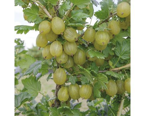 Groseillier à maquereaux FloraSelf Ribes uva-crispa ''Invicta'' H100-120cm Co 5L