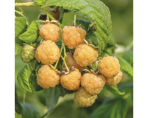 Framboisier jaune FloraSelf Rubus idaeus ''Golden Queen'' H40-60cm Topf Co 2L