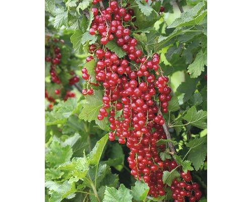 Groseillier à grappes FloraSelf Ribes rubrum ''Jonkheer van Tets'' H100-120cm Co 5L