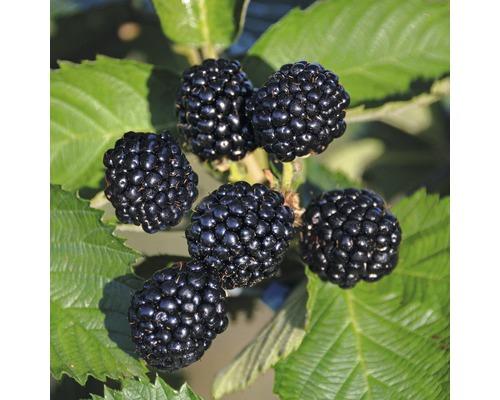 Framboisier FloraSelf Rubus idaeus ''Black Jewel'' h 60-80 cm Co 2 l