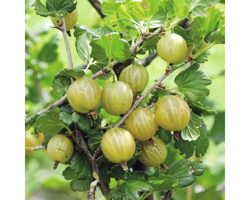 Groseillier à maquereaux jaune FloraSelf Ribes uva-crispa ''Hinnomäki jaune'' h 40-60 cm Co 3 l