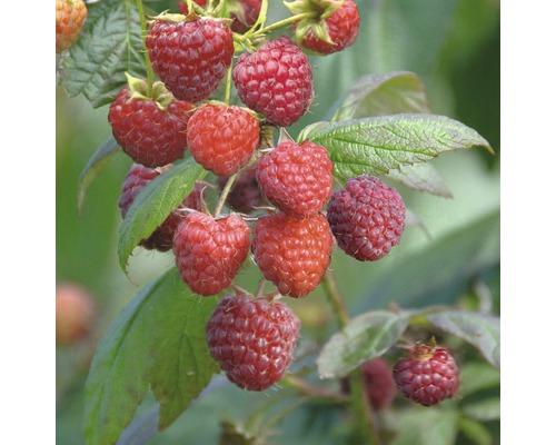 Grand framboisier d''automne FloraSelf Rubus idaeus ''Aroma Queen'' h 40-60 cm Co 2 l