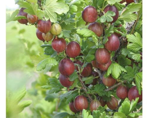 Groseillier à maquereaux rouge FloraSelf Ribes uva-crispa ''Captivator'' h 40-60 cm Co 3 l