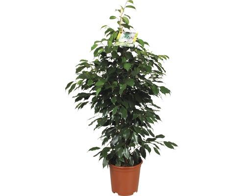 Arbre à caoutchouc FloraSelf® H 110cm pot de 21cm