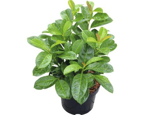 Laurier-cerise FloraSelf Prunus laurocerasus ''Etna''® H50-60cm Co 5 L