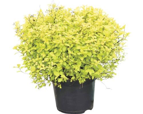 Spirée du Japon FloraSelf Spiraea japonica ''Golden Princess'' H40-50cm Co 4L