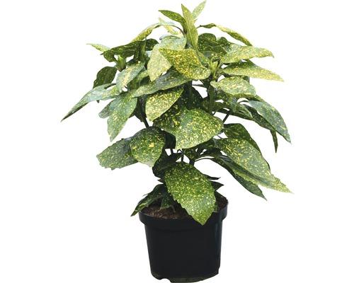 Metzgerpalme, Japanische Aucube FloraSelf Aucuba japonica ''Variegata'' H 40-50 cm Co 4 L